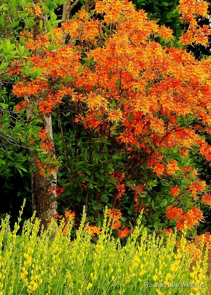 Fire Azalea by Rodney Williams