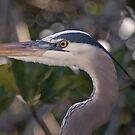 Heron Stare by JimSanders