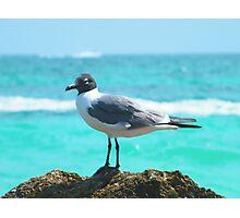 Carribean Gull Photographic Print