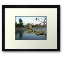 Pussy Willow Flowers Framed Print