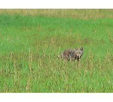 Coyote in Cades Cove,Tenn. Photographic Print