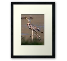 Purple Heron Framed Print