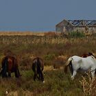 Wild horses grazing in Coto Doñana by Mortimer123