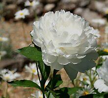 White Peony by Rick  Friedle