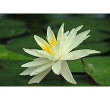 Lotus Flower & Lily Pads Photographic Print