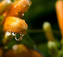 Trumpet Vine Blossoms in the Rain by Sandra Chung