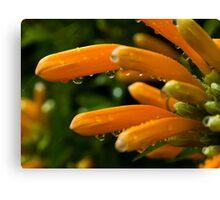 Trumpet Vine Blossoms in the Rain Canvas Print