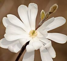 White Magnolia - Algonquin College, Ottawa, ON by Tracey  Dryka