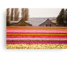 The famous barns at Tuliptown, Skagit Valley, WA Canvas Print