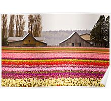 The famous barns at Tuliptown, Skagit Valley, WA Poster