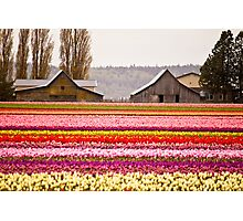 The famous barns at Tuliptown, Skagit Valley, WA Photographic Print