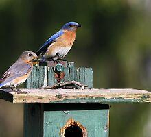 Bluebirds of Happiness  :o) by Lori Deiter