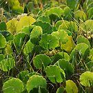 Field of Green  by Catherine Davis