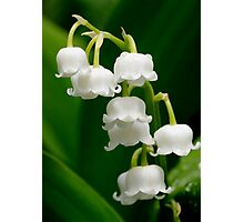 Lily of the Valley (Convallaria majalis) Photographic Print
