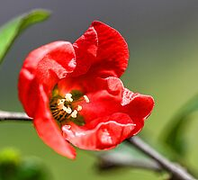 Mandarin Quince ... by T.J. Martin