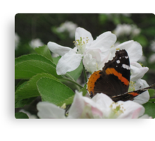 Red Admiral on apple blossoms 2 Canvas Print
