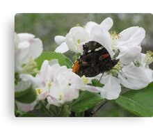 Red Admiral on apple blossoms 3 Canvas Print