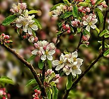 Apple Blossom by Simon Duckworth