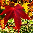 Autumn red by Cheryl J Newman
