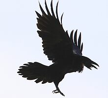 The Silhouette of the Common Raven by DigitallyStill