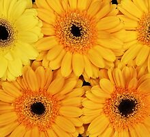 Gerbera Flowers, Petals, Blossoms - Yellow by sitnica