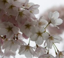 Clouds of Soft Pink Blossoms - a Tribute to Spring Sticker