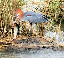 "THE GOLIATH HERON - Ardea goliath and the ""Tiger Fish"" 1 by Magriet Meintjes"