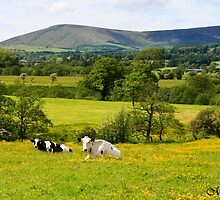 Cows in the Buttercups by maureen bracewell