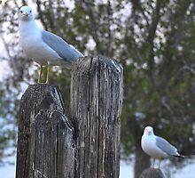 Gull-O! by Susan Vinson