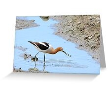 American Avocet Greeting Card