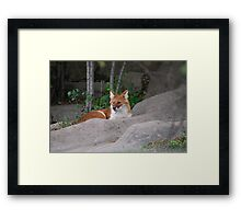 Asiatic Wild Dog: Dhole Framed Print