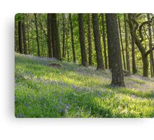 Bluebells in the evening sunshine Canvas Print