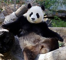 Panda Modelling by Aussiebluey