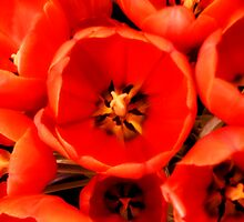 Sunkissed Tulips by ashley sipl