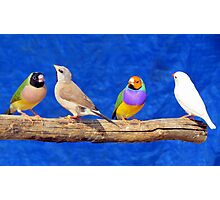 Finches are fun!  Photographic Print