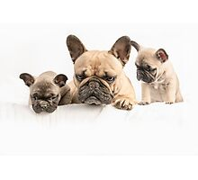 Frenchie Family Photographic Print