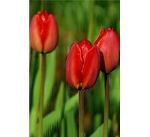 Tulip's stand tall Photographic Print