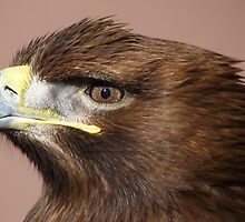 White-tailed Sea Eagle by Maria Gaellman