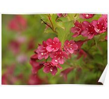 Wonderful Weigela Poster