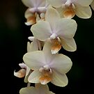 Phalaenopsis - Gold by Tracey  Dryka