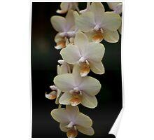 Phalaenopsis - Gold Poster