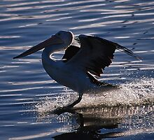 landing. bermagui, new south wales by tim buckley | bodhiimages