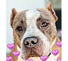 Pit Bull Dog - Pure Love Photographic Print