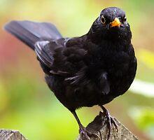 Blackbird by Roger Butterfield