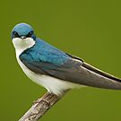 Tree Swallow by Daniel  Parent