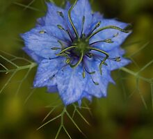 Love-in-a-mist by Agnes McGuinness
