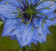 Love-in-a-mist Sticker