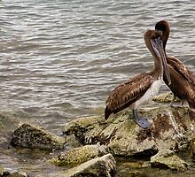 Brown Pelicans by phil decocco