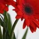 Red gerberas by Lena Weiss