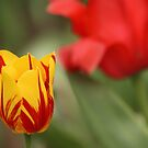 Tulip #5 by Sean McConnery